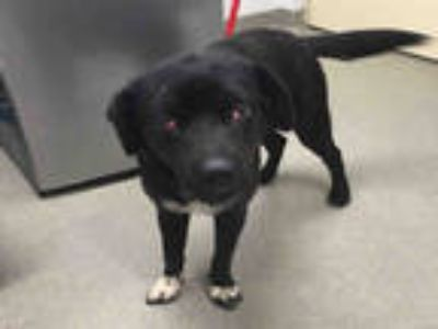 Adopt a Black - with White Labrador Retriever / Shar Pei / Mixed dog in Fort