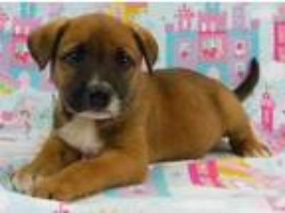 Adopt Eddie a Tan/Yellow/Fawn Beagle / Australian Cattle Dog / Mixed dog in