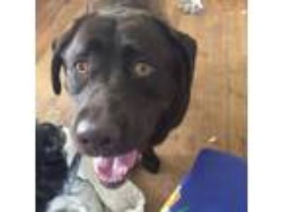 Adopt Jelly Belly a Chocolate Labrador Retriever