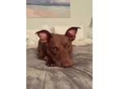 Adopt Clay Talbot- perfection on 4 legs! a Pit Bull Terrier