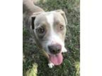 Adopt Lenny a Tan/Yellow/Fawn American Staffordshire Terrier / Mixed dog in