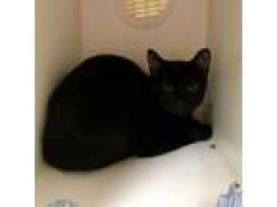 Adopt Love Bug a Domestic Short Hair