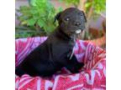 Adopt Napa Pup - Tetra a Black Labrador Retriever / Mixed dog in San Diego