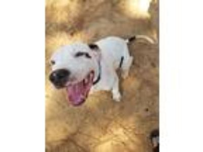 Adopt Sherlock a White - with Black American Pit Bull Terrier / Mixed dog in