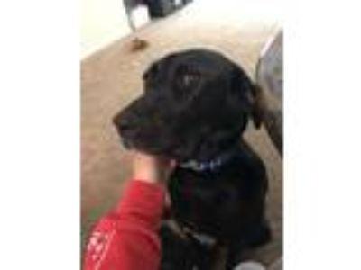 Adopt Parker a Black Labrador Retriever / Coonhound dog in Nashville