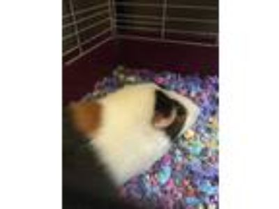 Adopt Speedy Gonzales a White Guinea Pig / Guinea Pig / Mixed small animal in
