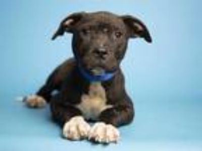 Adopt JACK a Black - with White American Pit Bull Terrier / Mixed dog in