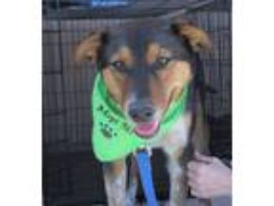 Adopt Sparky a Tricolor (Tan/Brown & Black & White) Australian Cattle Dog /