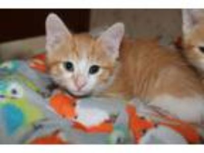 Adopt Nereid a Domestic Short Hair