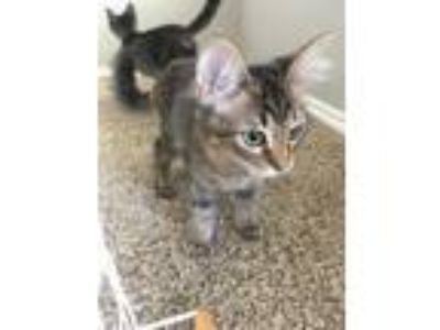 Adopt Sam a Spotted Tabby/Leopard Spotted Calico cat in Providence Village
