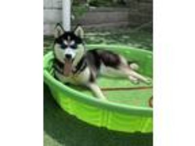 Adopt Nymeria a Black Husky / Mixed dog in Cleveland, OH (25350862)