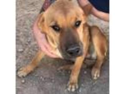 Adopt Rusty a Brown/Chocolate Labrador Retriever / Shepherd (Unknown Type) dog