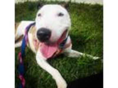 Adopt Holly a Brindle - with White Bull Terrier / Mixed dog in Lititz
