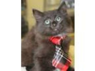 Adopt ROCKY a Domestic Medium Hair