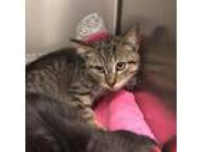Adopt Karate Kit a Gray or Blue Domestic Shorthair / Domestic Shorthair / Mixed