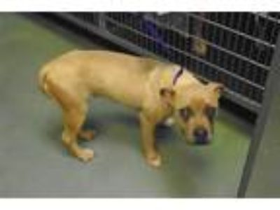 Adopt Lacy Lou a American Staffordshire Terrier / Mixed dog in Raleigh