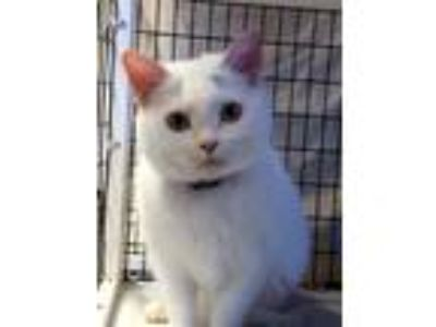 Adopt Snow a Domestic Shorthair / Mixed (short coat) cat in Lawrenceville