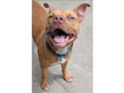 Adopt Chipmunk a American Pit Bull Terrier / Mixed dog in Charlottesville