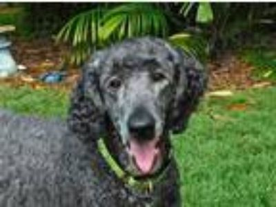 Adopt Abby Lakeland a Black Poodle (Standard) / Mixed dog in St.