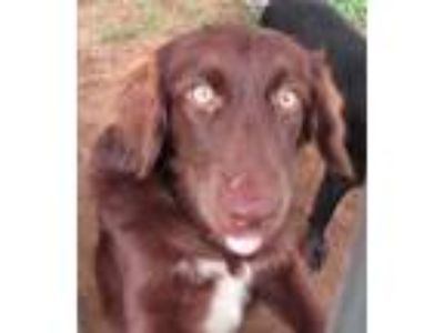 Adopt Rowsey a Brown/Chocolate Labrador Retriever / Poodle (Standard) / Mixed