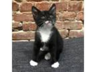 Adopt Kitten Bieber a Domestic Short Hair