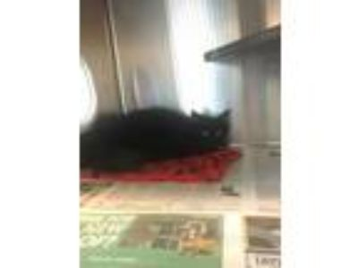 Adopt Lelia a All Black Domestic Longhair / Domestic Shorthair / Mixed cat in