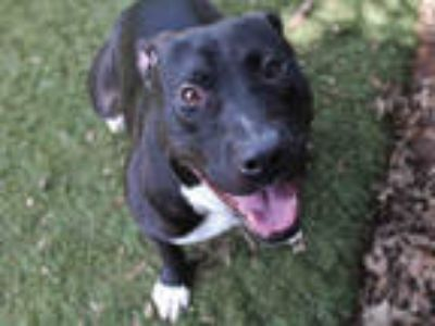 Adopt WINSTON a Black - with White American Pit Bull Terrier / Mixed dog in