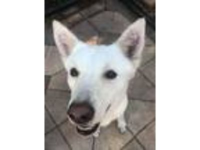 Adopt Greta a White Husky / Shepherd (Unknown Type) / Mixed dog in Groveland