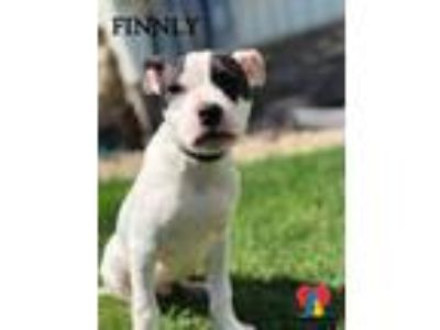 Adopt Finnly a White American Pit Bull Terrier / Mixed dog in Grand Island