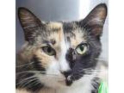 Adopt Mariana a Calico or Dilute Calico Domestic Shorthair cat in Middletown