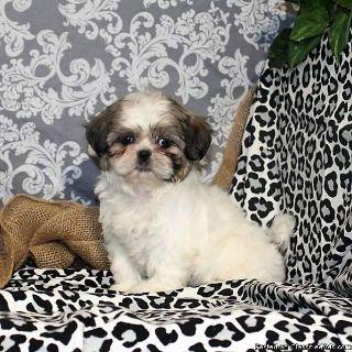 Beautiful shih tzu Pups for adoption