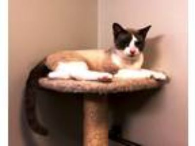 Adopt Max a White (Mostly) Domestic Shorthair (short coat) cat in Nolensville