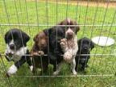 Adopt GWP Mix Puppies a German Wirehaired Pointer, Labrador Retriever