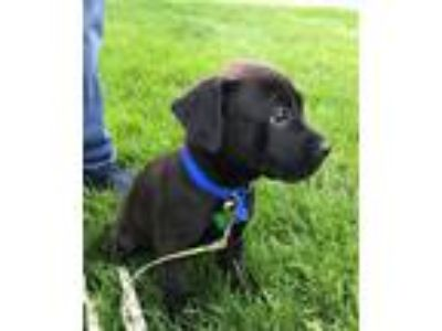 Adopt Hook-adoption pending a Black Boxer / Pit Bull Terrier / Mixed dog in