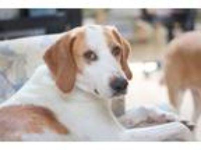 Adopt Bishop a White - with Red, Golden, Orange or Chestnut Hound (Unknown Type)
