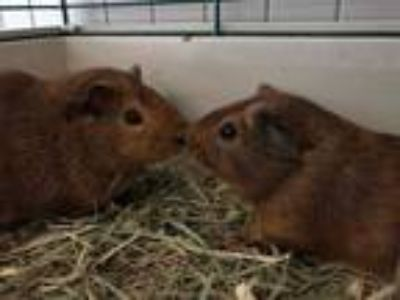 Adopt Wicket & Chewbacca a Red Guinea Pig (short coat) small animal in