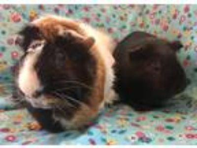 Adopt Whitney & Pippa a Calico Guinea Pig (short coat) small animal in Grand