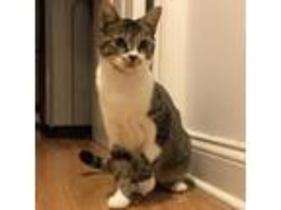 Adopt Whisper Shark a Domestic Short Hair