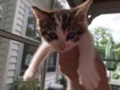 Adopt Daisy a Brown Tabby Domestic Shorthair / Mixed (short coat) cat in