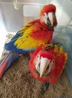 Beautiful Baby Scarlet Macaws available
