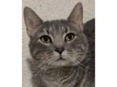 Adopt Gretchen a Gray, Blue or Silver Tabby Domestic Shorthair / Mixed cat in