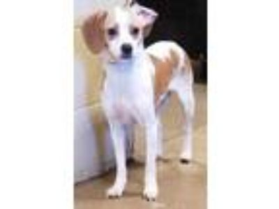Adopt Janessa* a White Beagle / Mixed dog in Anderson, SC (25296303)