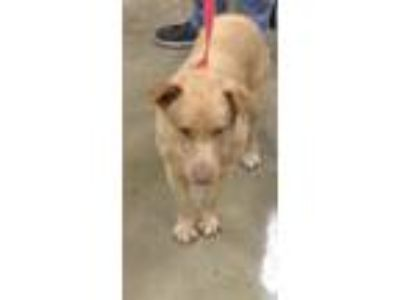 Adopt Rambo a Labrador Retriever, Golden Retriever