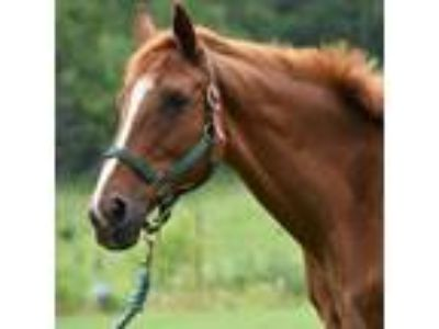 Adopt Free Romance a Thoroughbred