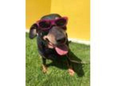 Adopt Maisey a Rottweiler