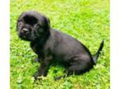 Adopt Willow a Black Shih Tzu / Mixed dog in Pittsburgh, PA (25518999)