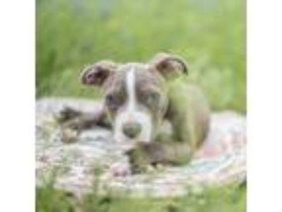 Adopt Baby Shark a Gray/Silver/Salt & Pepper - with Black American Staffordshire