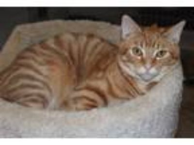 Adopt Pooh a Tabby, Domestic Short Hair