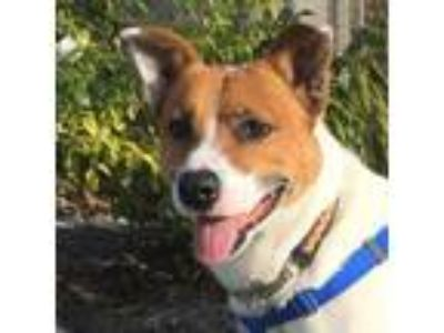 Adopt OWEN a Australian Cattle Dog / Blue Heeler