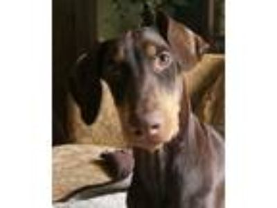 Adopt Rubble a Doberman Pinscher